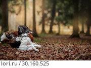 Купить «Russian borzoi dogs portrait in an autumn park», фото № 30160525, снято 23 октября 2016 г. (c) Julia Shepeleva / Фотобанк Лори
