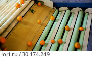 Купить «View of ripe mandarin oranges on conveyor belt of sorting production line», видеоролик № 30174249, снято 29 января 2019 г. (c) Яков Филимонов / Фотобанк Лори