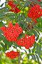 Купить «Спелые гроздья рябины обыкновенной (Sorbus aucuparia L.)», фото № 30174733, снято 15 августа 2016 г. (c) Ирина Борсученко / Фотобанк Лори