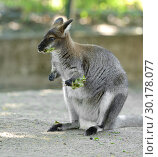 Funny Red-necked wallaby or Bennett's wallaby (Macropus rufogriseus) Стоковое фото, фотограф Валерия Попова / Фотобанк Лори