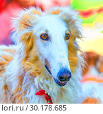Купить «Portrait of a dog breed Russian Greyhound», фото № 30178685, снято 18 августа 2018 г. (c) Акиньшин Владимир / Фотобанк Лори