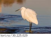 Купить «Small white Heron catches small fish in the water», фото № 30225029, снято 13 февраля 2019 г. (c) Наталья Волкова / Фотобанк Лори