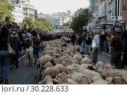 Купить «Hundreds of sheep along a street in downtown Madrid, Spain, 22 October 2017. During the 24th edition of the Fiesta de la Transhumancia (Transhumance Festival...», фото № 30228633, снято 22 октября 2017 г. (c) age Fotostock / Фотобанк Лори