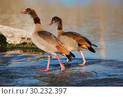 A pair of Egyptian geese fishing in the river. Стоковое фото, фотограф Наталья Волкова / Фотобанк Лори