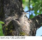 Купить «Птенец скворца обыкновенного (Sturnus vulgaris)», фото № 30235089, снято 25 мая 2018 г. (c) EgleKa / Фотобанк Лори
