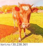Купить «Portrait of a beautiful brown cow.», фото № 30238361, снято 7 мая 2016 г. (c) Акиньшин Владимир / Фотобанк Лори