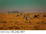 Купить «Group of zebra game in reserve Kenya», фото № 30242981, снято 15 августа 2015 г. (c) Сергей Новиков / Фотобанк Лори