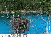 Nesting bald eagle. Стоковое фото, фотограф Mark Newman / age Fotostock / Фотобанк Лори