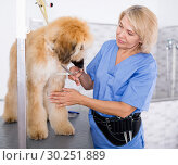 Купить «woman hairdresser cuts Afghan puppy Shepherd in beauty salon for animals», фото № 30251889, снято 17 октября 2017 г. (c) Татьяна Яцевич / Фотобанк Лори