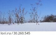 Купить «Сухая трава. Зима. Ветрено», видеоролик № 30260545, снято 6 марта 2019 г. (c) Александр Романов / Фотобанк Лори
