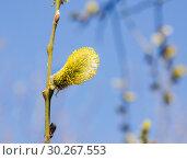 Купить «Ива козья (Salix caprea). Мужское соцветие», фото № 30267553, снято 12 апреля 2016 г. (c) Алёшина Оксана / Фотобанк Лори