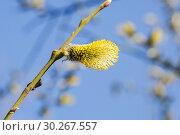 Купить «Ива козья (Salix caprea). Мужское соцветие», фото № 30267557, снято 12 апреля 2016 г. (c) Алёшина Оксана / Фотобанк Лори