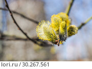 Купить «Цветущая ива козья (Salix caprea). Мужские соцветия», фото № 30267561, снято 12 апреля 2016 г. (c) Алёшина Оксана / Фотобанк Лори
