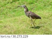Купить «Индийская желтая цапля на зеленой траве. Indian Pond Heron — Ardeola grayii», фото № 30273229, снято 7 марта 2019 г. (c) Овчинникова Ирина / Фотобанк Лори