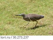 Купить «Индийская желтая цапля на берегу. Indian Pond Heron — Ardeola grayii», фото № 30273237, снято 7 марта 2019 г. (c) Овчинникова Ирина / Фотобанк Лори