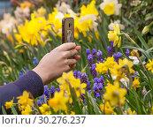 Купить «Женские руки держат смартфон. Съемка цветка  желтого нарцисса на цветочном фоне в оранжерее», фото № 30276237, снято 10 марта 2019 г. (c) Наталья Николаева / Фотобанк Лори