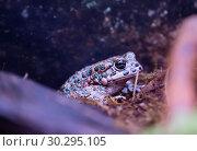 Купить «Зелёная жаба Green Toad», фото № 30295105, снято 12 марта 2019 г. (c) Галина Савина / Фотобанк Лори