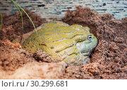 Купить «Африканская жаба-водонос ( лягушка-бульдог) African Bullfrog», фото № 30299681, снято 15 января 2016 г. (c) Галина Савина / Фотобанк Лори