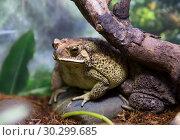Купить «Чернорубцовая малайская жаба», фото № 30299685, снято 20 ноября 2017 г. (c) Галина Савина / Фотобанк Лори