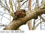 Купить «Березовый гриб чага (Inonotus obliquus (Ach. ex Pers.) Pil.) на стволе дерева», фото № 30300589, снято 10 апреля 2016 г. (c) Ирина Борсученко / Фотобанк Лори