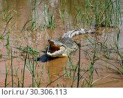 The yawning Nile crocodile Chamo lake, Nechisar national park, Ethiopia. Стоковое фото, фотограф Сергей Майоров / Фотобанк Лори