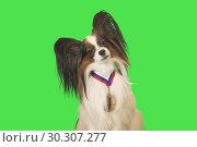 Купить «Beautiful dog Papillon with medal for first place on the neck on green background», фото № 30307277, снято 14 июля 2019 г. (c) Юлия Машкова / Фотобанк Лори