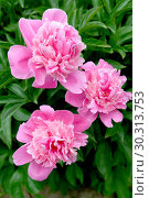 Купить «Крупные розовые цветы пиона (Paeonia L.)», фото № 30313753, снято 1 июня 2016 г. (c) Ирина Борсученко / Фотобанк Лори