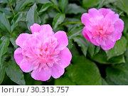 Купить «Розовые цветы пиона (Paeonia L.) крупным планом», фото № 30313757, снято 2 июня 2016 г. (c) Ирина Борсученко / Фотобанк Лори