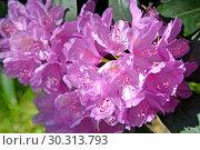 Купить «Соцветия розового рододендрона (Rhododendron L.) крупным планом», фото № 30313793, снято 31 мая 2015 г. (c) Ирина Борсученко / Фотобанк Лори