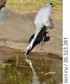 Demoiselle crane (Grus virgo) drinking. Стоковое фото, фотограф Валерия Попова / Фотобанк Лори