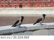 Купить «Серые вороны (лат. Corvus cornix) в городе», фото № 30324069, снято 15 июня 2018 г. (c) Елена Коромыслова / Фотобанк Лори