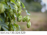 Detailed photo of hop cones for making beer and bread in the summer on hops field, copy space in the right corner og the photo. Стоковое фото, фотограф Ольга Балынская / Фотобанк Лори