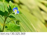 Купить «Цветок незабудка», эксклюзивное фото № 30325369, снято 12 августа 2017 г. (c) Юрий Морозов / Фотобанк Лори