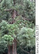 Купить «Фрагмент кроны секвойядендрона гигантского (Sequoiadendron giganteum (Lindl.) J. Buchholz )», фото № 30325377, снято 12 августа 2017 г. (c) Ирина Борсученко / Фотобанк Лори