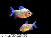 Купить «Хищная рыба пиранья (Pygocentrus nattereri)», фото № 30325453, снято 2 марта 2019 г. (c) Евгений Ткачёв / Фотобанк Лори