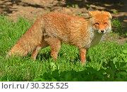 Купить «Red fox (Vulpes vulpes) in forest», фото № 30325525, снято 8 мая 2018 г. (c) Валерия Попова / Фотобанк Лори