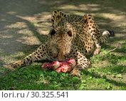 Купить «Cheetah (Acinonyx jubatus), large cat of subfamily Felinae, eating meat», фото № 30325541, снято 8 мая 2018 г. (c) Валерия Попова / Фотобанк Лори