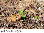 Купить «Жаба, или настоящая жаба (лат. Bufonidae) ярким солнечным осенним днём. Подмосковье, Россия», фото № 30325997, снято 22 сентября 2017 г. (c) Устенко Владимир Александрович / Фотобанк Лори