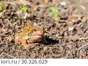 Купить «Настоящая жаба (лат. Bufonidae) или просто жаба ярким солнечным осенним днём. Подмосковье, Россия.», фото № 30326029, снято 22 сентября 2017 г. (c) Устенко Владимир Александрович / Фотобанк Лори