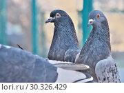 Купить «Wild city pigeons on a winter day», фото № 30326429, снято 17 февраля 2019 г. (c) Владимир Белобаба / Фотобанк Лори