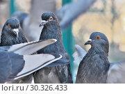 Купить «Wild city pigeons on a winter day», фото № 30326433, снято 17 февраля 2019 г. (c) Владимир Белобаба / Фотобанк Лори