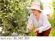 Купить «Young woman in hat picking harvest of chinese vigna in sunny garden», фото № 30347301, снято 13 августа 2018 г. (c) Яков Филимонов / Фотобанк Лори