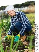 Купить «Young positive woman weeds the garden beds beets», фото № 30347537, снято 7 марта 2019 г. (c) Яков Филимонов / Фотобанк Лори