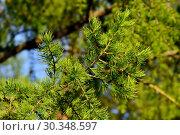 Купить «Sprigs of larch close up. Beautiful natural background», фото № 30348597, снято 13 мая 2017 г. (c) Сергей Трофименко / Фотобанк Лори