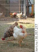 Купить «Куры гуляют по двору», фото № 30357217, снято 14 сентября 2013 г. (c) Сапрыгин Сергей / Фотобанк Лори