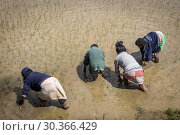 Купить «Kids planting rice, on the outskirts of Fianarantsoa, Madagascar.», фото № 30366429, снято 28 января 2020 г. (c) age Fotostock / Фотобанк Лори