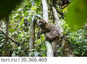 Купить «Lemur (Prolemur simus), in Ranomafana National Park. Madagascar, Africa.», фото № 30366469, снято 24 июня 2019 г. (c) age Fotostock / Фотобанк Лори