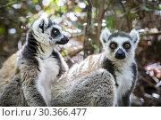 Купить «Ring-tailed Lemur, Maki catta, Anja Reserve, Madagascar.», фото № 30366477, снято 24 июня 2019 г. (c) age Fotostock / Фотобанк Лори