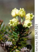Купить «Цветущий можжевельник сибирский Juniperus sibirica», фото № 30367021, снято 28 сентября 2018 г. (c) А. А. Пирагис / Фотобанк Лори
