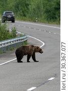 Купить «Бурый медведь переходит дорогу», фото № 30367077, снято 31 июля 2018 г. (c) А. А. Пирагис / Фотобанк Лори